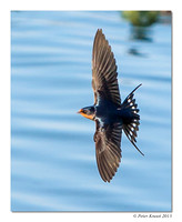 peter_barn_swallow_20