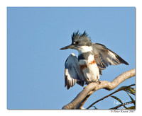 peter_belted_kingfisher_6